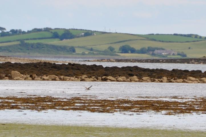 Reagh Island curlew
