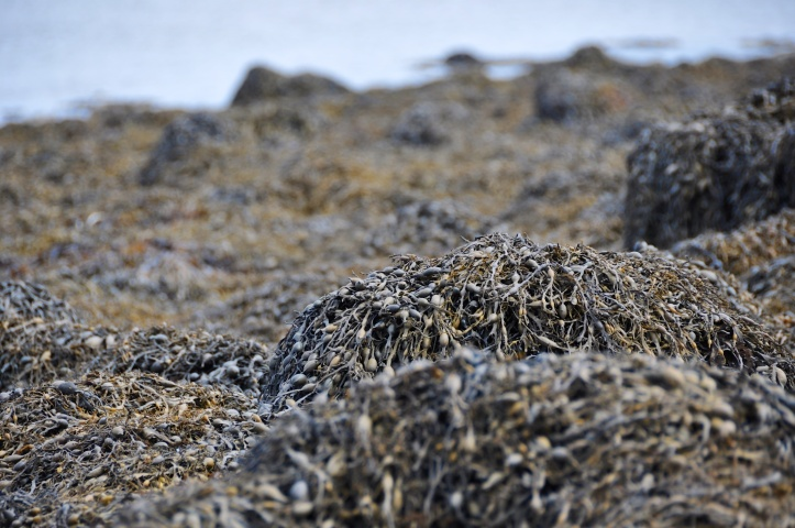 Reagh Island seaweed.jpg
