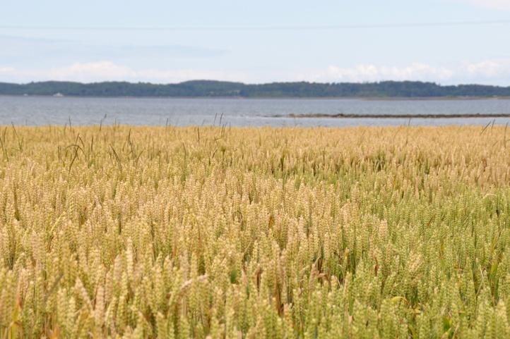 Ringneill crops