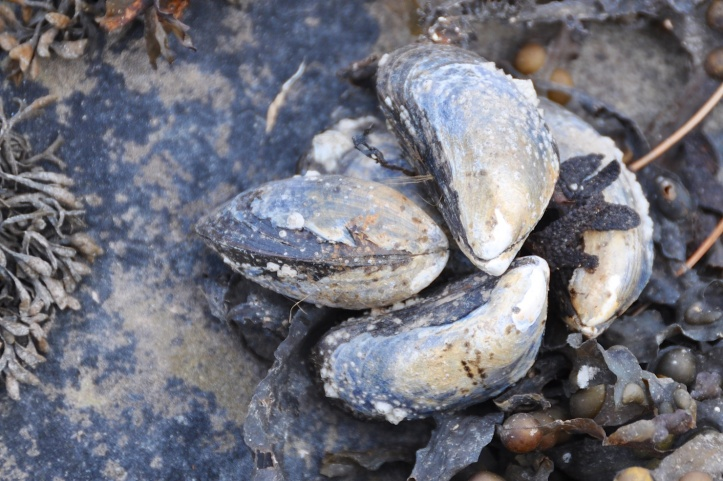 Strangford Lough mussels