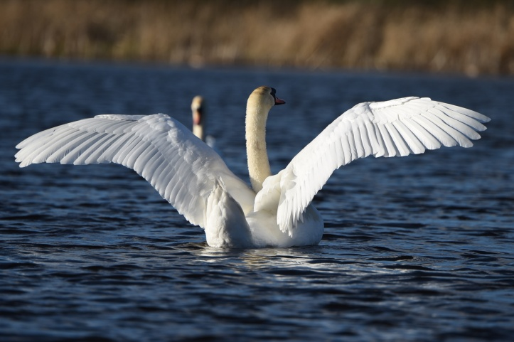 Tullynagee swans wings up