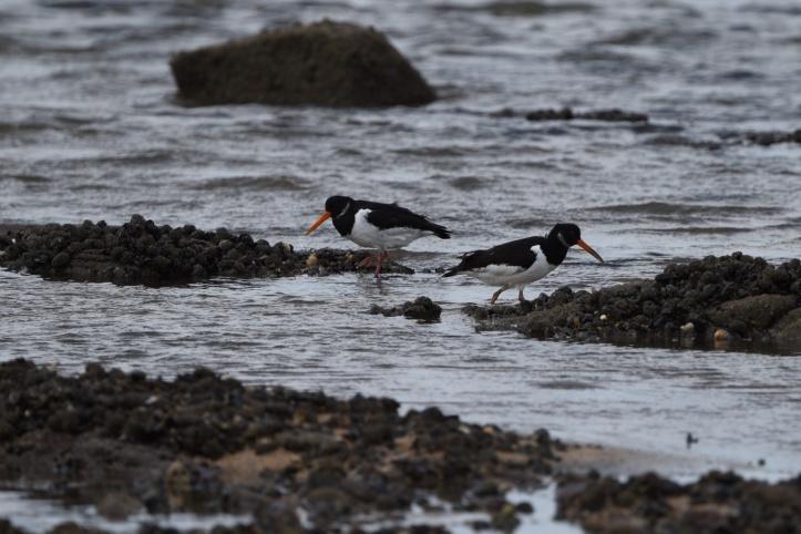 Ballymenagh oystercatchers