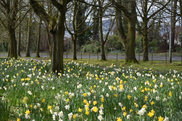 Ballymenagh park daffodils