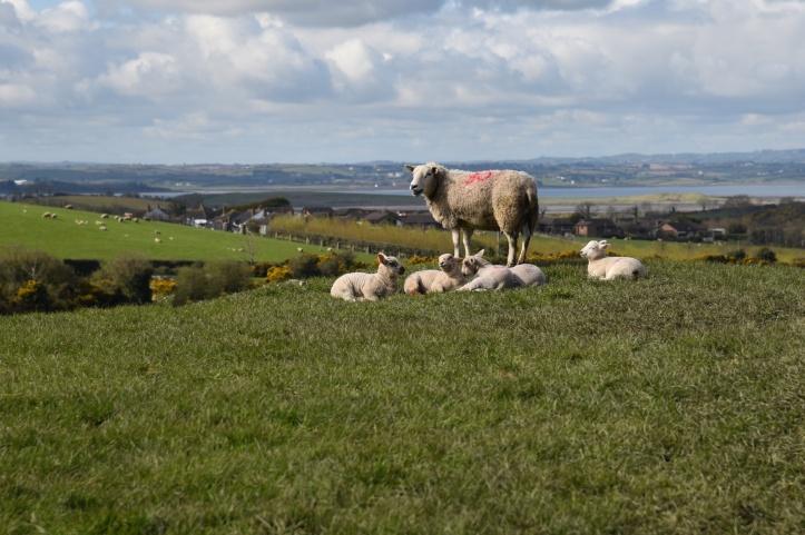 Cardy sheep (1)