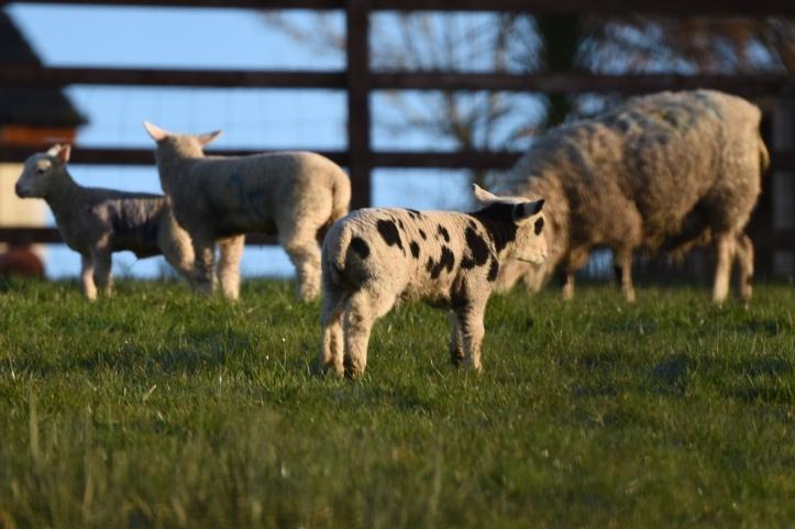 Carrickmannan lambs