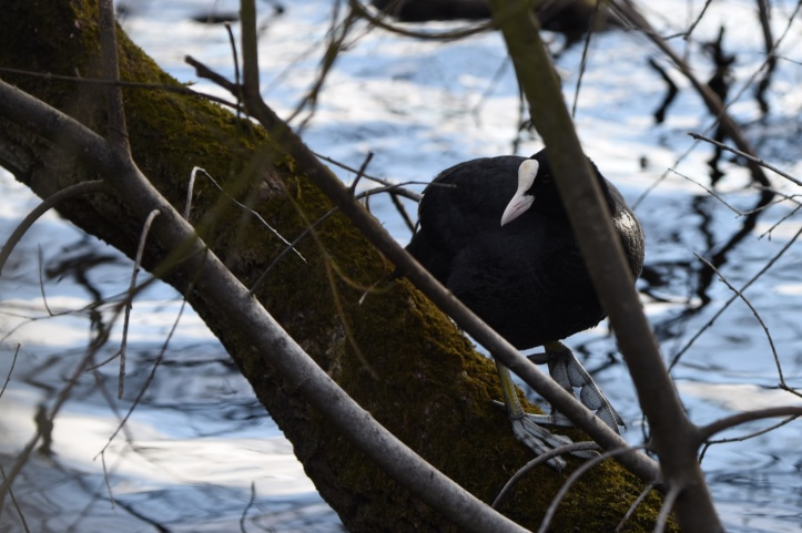 Coot in Clea Lakes from Tullyveery