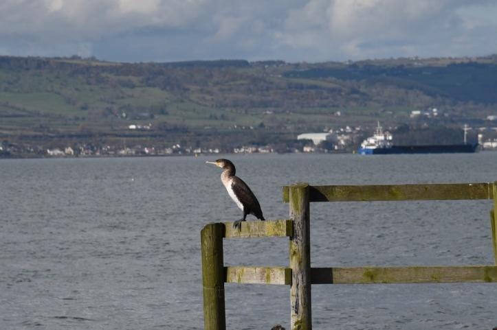 cormorant at Holywood
