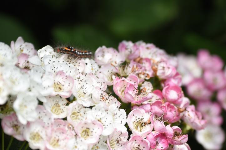 Gregstown caterpillar