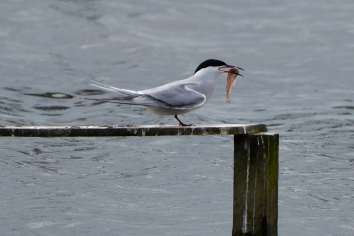 RSPBNI WOW common tern