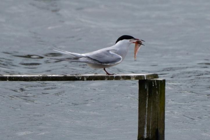 RSPBNI WOW common tern