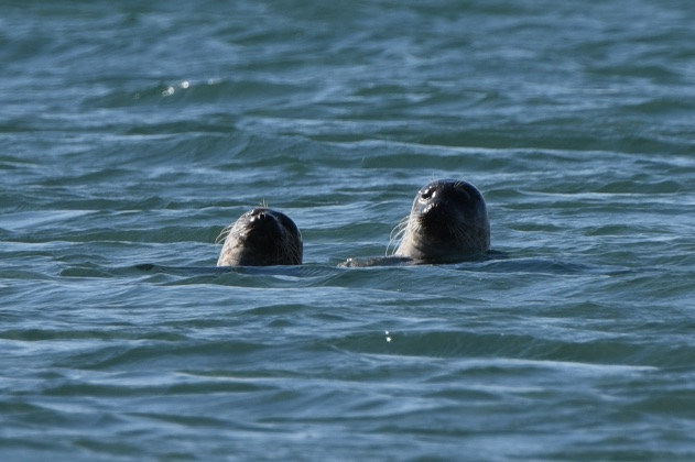 Seals at Ballywalter