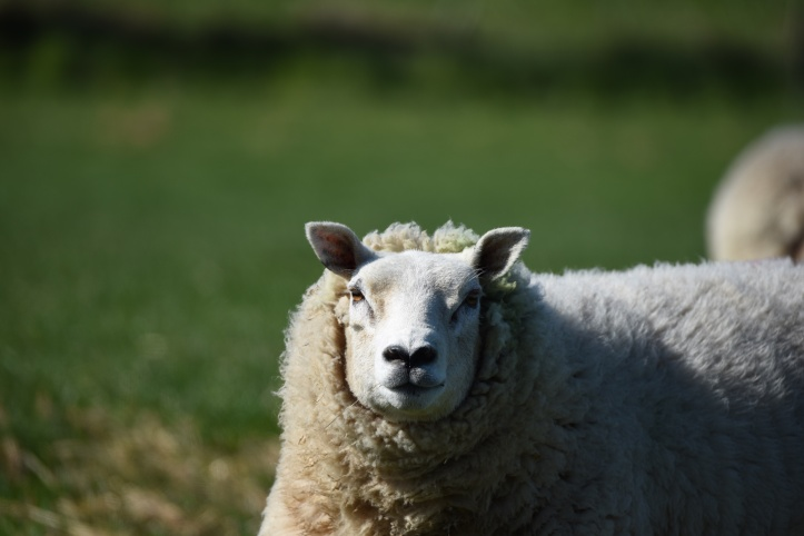 Whitechurch sheep