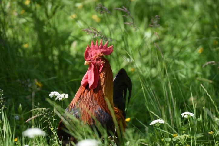 Rosemount rooster
