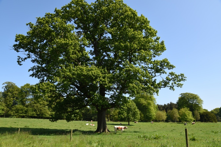 Clandeboye tree and cow