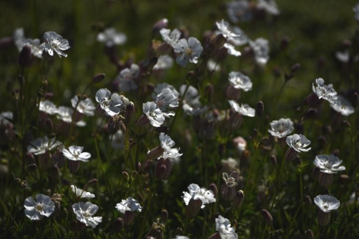 Kearney wildflowers