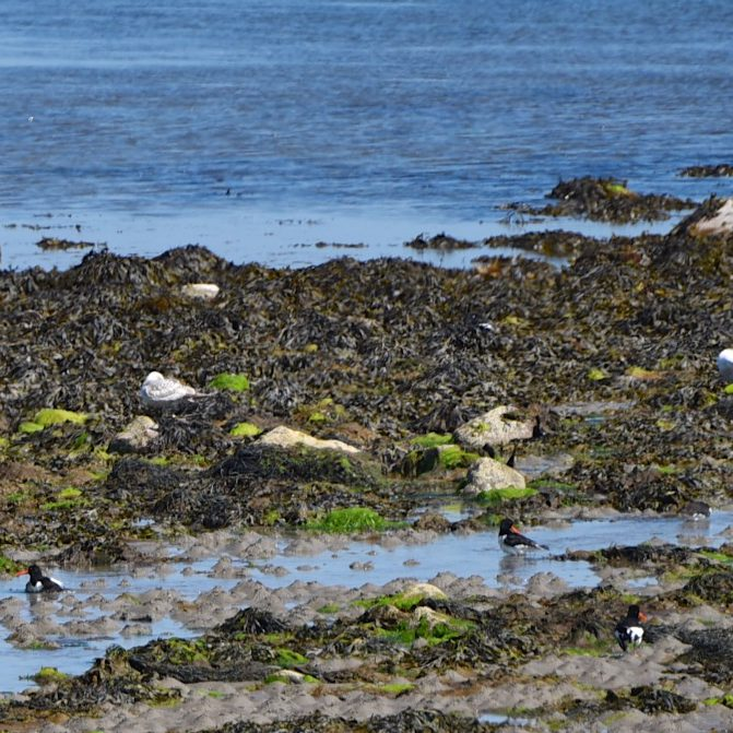 Ratallagh oystercatchers