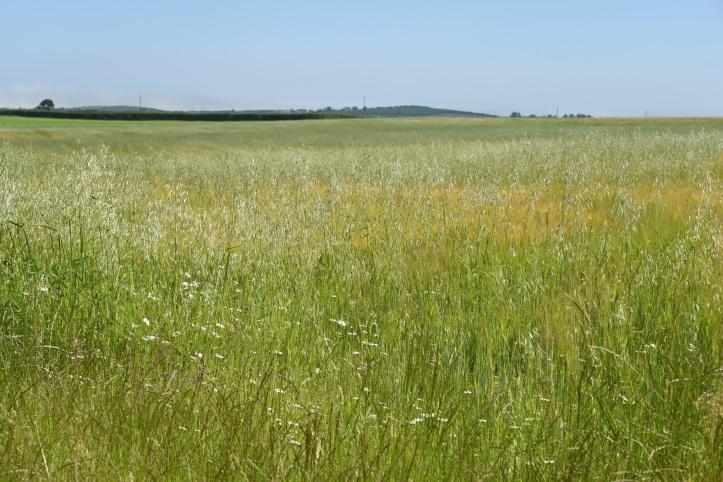 Roddans field