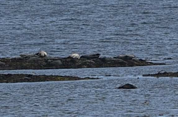 Seals at Roddans (1)