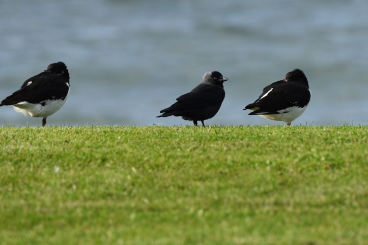 jackdaw-and-oystercatchers