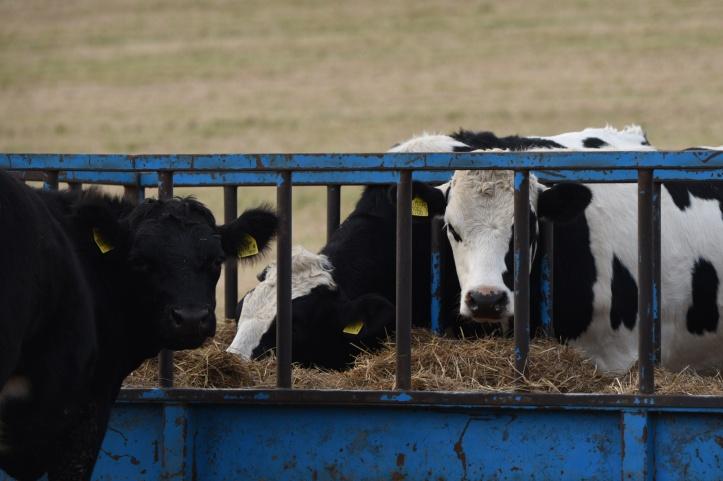 lisbane-cows