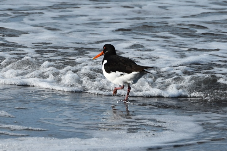 oystercatcher-tiptoes