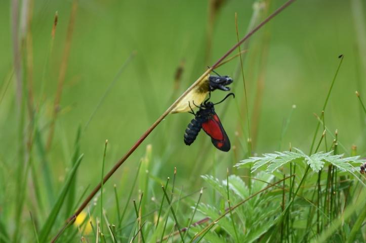 cinnabar-moth
