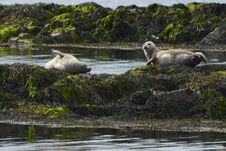 seals-two-on-rocks-messing