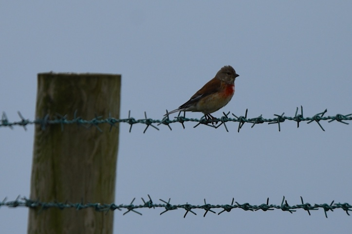 sheepland-coast-linnet-on-wire
