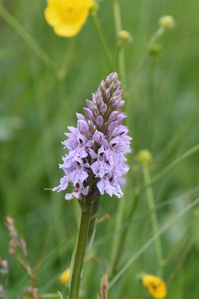 sheepland-coast-orchid