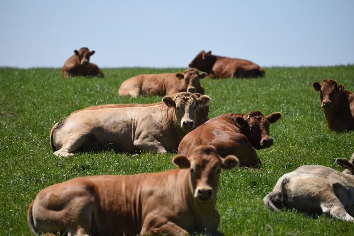 ballyfounder-cows