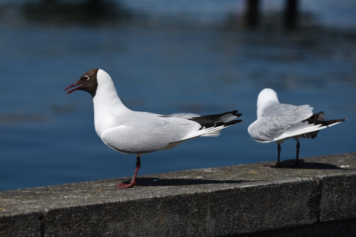 black-headed-gulls-portaferry